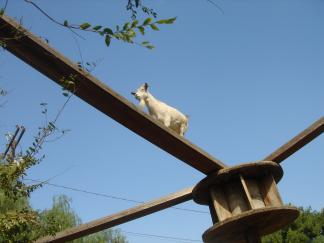 goat-high-wire